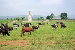 Check in ngay trang trại bò sữa như trời Âu ngay gần Đà Lạt